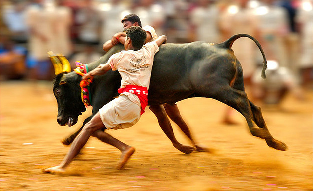 Why there is so much fuss about Jallikattu?
